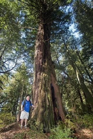 người đàn ông đứng cạnh cây gỗ đỏ khổng lồ